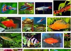 Macam Macam Ikan Hias Air Tawar Ukuran Kecil Berbagai Ukuran
