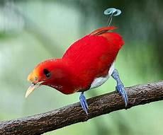 cing paradis burung cendrawasih raja king bird of paradise