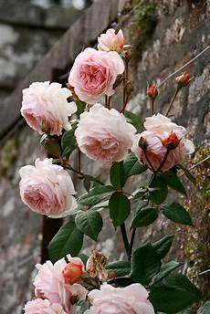 pflanzen so gelingt es mit der rosenpracht im garten