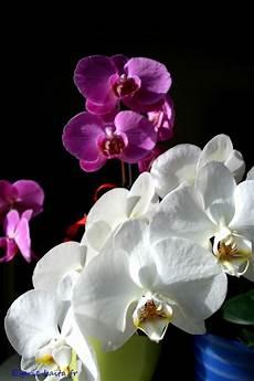 comment soigner une orchid 233 e orchid 233 e phalaenopsis
