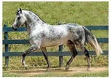 cavallo pomellato grigio cavallo