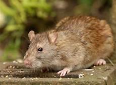 Ratten Vertreiben Und Vorbeugen Tipps Sch 228 Dlinge Garten