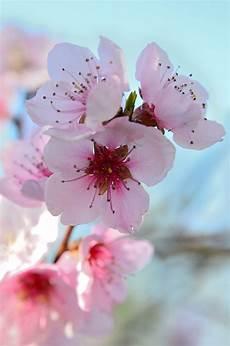 sfondi fiore fiori di pesco primavera colorato 183 foto gratis su pixabay