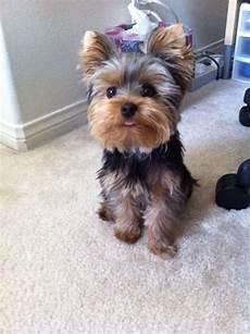 1163 best yorkies images pinterest fluffy pets