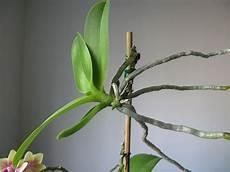 orchideen vermehren durch ableger oder teilung orchideen