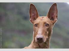 Podenco Canario   Sociedad Canina Costa del Sol