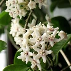 arbuste à fleurs blanches odorantes plante verte fleurs blanches odorantes