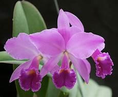 dibujos de la orquidea el araguaney y el turpial para colorear cattleya jenmanii gran sabana x rubra miguel s orchids