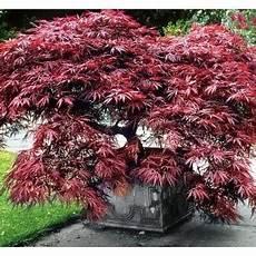 erable nain du japon envie d un arbre bruxelles bruxellez bruxellons