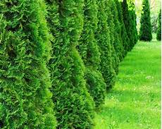 best hedges to plant fast growing and privacy hedges