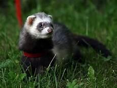 a ferret care sheet ferrets ferrets care pet ferret cute ferrets