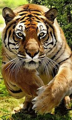 10 Dp Bbm Harimau Bergerak Gambar Animasi Gif Swf Dp