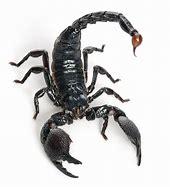 Image result for Black Scorpion