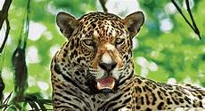 what is a jaguar called the meaning and symbolism of the word 171 jaguar 187