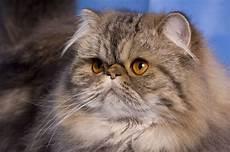 prezzi gatti persiani gatto persiano carattere pelo lungo il carattere