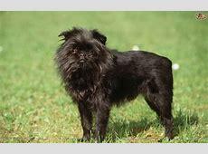 Affenpinscher Dog Breed   Facts, Highlights & Buying