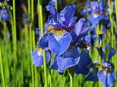 iris fiore immagini fiore di iris foto stock 169 lehakok 29084989