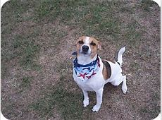 Griffin   Adopted Dog   Tampa, FL   Parson Russell Terrier