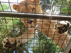 animali in gabbia turisti in gabbia al posto degli animali in questo zoo