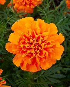 tagete fiore closeup di fiore di tagete arancione foto stock