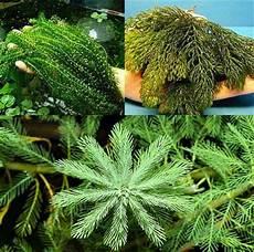 Unterwasserpflanzen Sortiment 100 Pflanzen Teichpflanzen