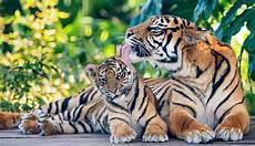 Gambar Hewan Harimau Kartun Lucu