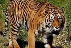 Lelaki Indonesia Maut Dibaham Harimau Sumatera Astro Awani