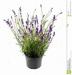 Lavendel Im Topf Lokalisiert Auf Wei 223 Stockfoto Bild