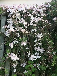 clematis montana schneiden clematis montana var rubens pink perfection clematis