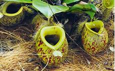 fleischfressende pflanzen haltung pflege