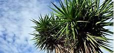 yucca palme pflegen yucca palme pflegen die besten tipps utopia de