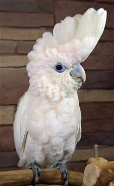 animale vanitoso ducorps cockatoo cacatua ducorpsii birds