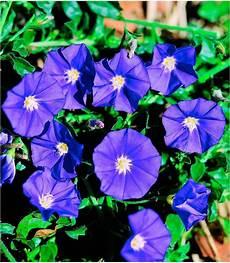 beet balkonpflanze 187 blaue mauritius 171 kaufen otto