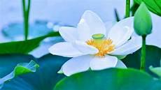 beautiful white lotus flowers hd1080p youtube