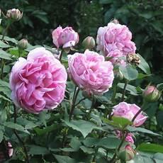 rosiers grimpants anciens rosier ancien mme ernest calvat 174 roseraie guillot 1829