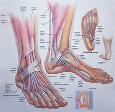 Anatomical Foot Diagram by Anatomy Foot Anatomy 300x294 Tomatillo Gazpacho
