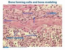 10 13 08 histology bone formation and remodeling