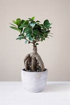 8 Types Of Indoor Ficus Plants Best Ficus Trees For Home