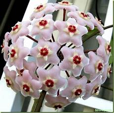 piante di fiori hoya carnosa foto fiori