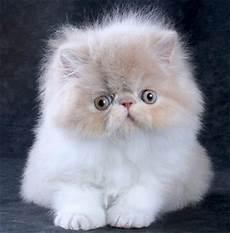 immagini di gatti persiani gatto persiano foto di cuccioli persiani centrinno