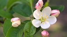 fiori d bach il fiore di bach crab apple melo selvatico