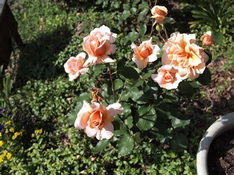 Nectar Rose The Hazing