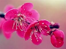 fior di ciliegio lotus flower cherry blossoms