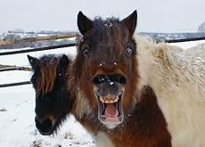 wie viel kostet ein norweger im monat pferde pony