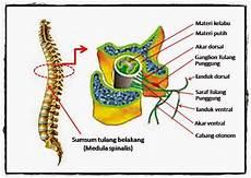 Catatan Kecil Nurul Anatomi Dan Fisiologi Sistem Imunitas