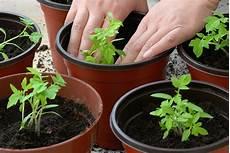 come seminare i pomodori in vaso tomato growing six requirements for success harvest to
