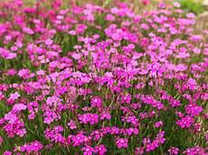 fleur vivace plein soleil plantes couvre sol pour le soleil pour l ombre arbustes couvre sol
