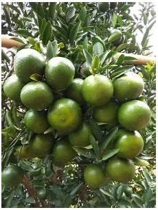 Tanda Tanda Jeruk Matang Di Pohonnya Tips Petani