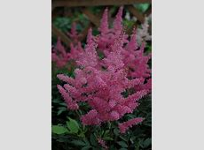 Younique Lilac Astilbe (Astilbe 'Verslilac') in Inver