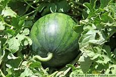 wassermelonen gartenratgeber net